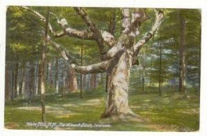 The Wizard Birch, Intervale, White Mountains, New Hampshire, PU-00-10s