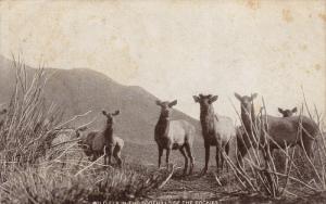 Wild Elk in the Foothills of the Rockies, 00-10s