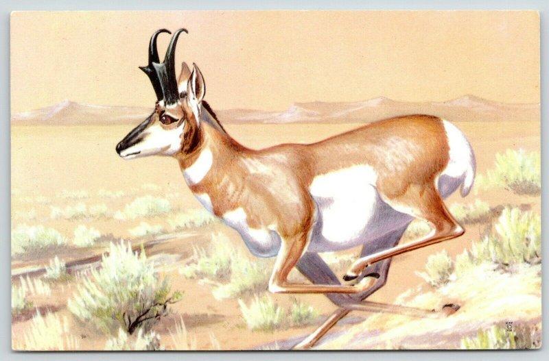 Maynard Reece~Pronghorn Not African Antelope~National Wildlife Federation~1958