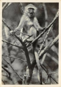 Vintage Postcard, No.24 Vervet Monkey Durban Natal, South Africa 23Y