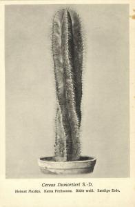 Cactus Cactaceae, Cereus Dumortieri S.-D. (1920s) Otto Stoye Postcard