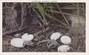 Alligators Hatching In Florida
