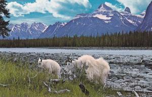 Rocky Mountain Goats Along the Athabaska River, Canadian Rockies, Jasper Nati...