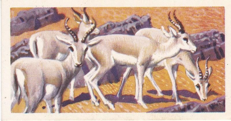 Trade Card Brooke Bond Tea Asian Wild Life No 36 Goitred Gazelle