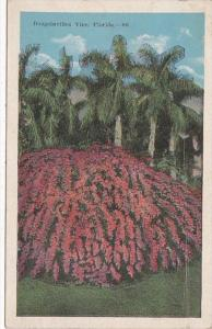 Florida Flowers Bougainvillea In Bloom 1924