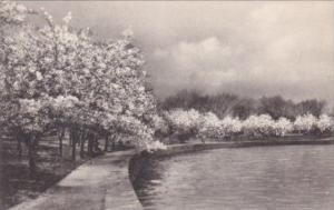 Washington DC Cherry Blossoms Potomac Park Albertype