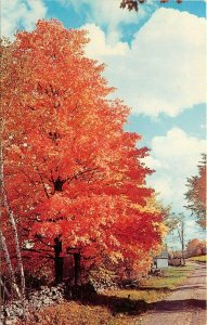 Fire Leaf Maple Tree along a Rural Country Road stone wall fence  Postcard
