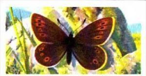 Brooke Bond Tea Trade Card British Butterflies No 3 Small Mountain Ringlet
