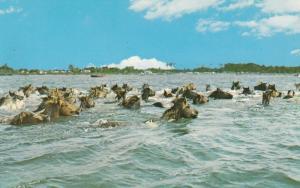 9031 Chincoteague Pony Swim, Virginia