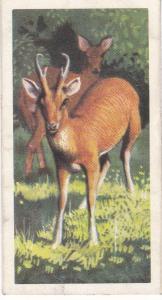 Trade Card Brooke Bond Tea Asian Wild Life No 39 Muntjak