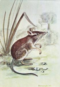 Wildlife , MOZAMBIQUE , 1983 ; Petrodromys Tetradactylus