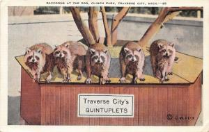 Traverse City Michigan~Clinch Park Zoo-Raccoon Quintuplets~Orson W Peck Postcard