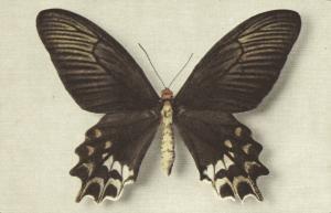 Butterfly Postcard, Papilio Semperi Mindoro (1950s) I