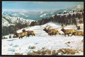 Herd of Bull Elk - Rocky Mountains MT, Montana - pm 1994