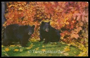 Bear with us this Autumn Glory . . .