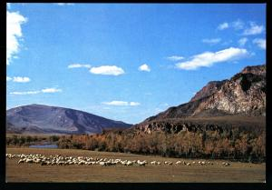 A Flock of Sheep in the grazing field MONGOLIA Real Photo MNR Postcard