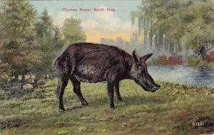 Pigs A Florida Razor Back Hog
