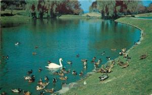 Ashtabula Ohio~Swans, Ducks, Geese @ Beautiful Lake Shore Park~1950s PC
