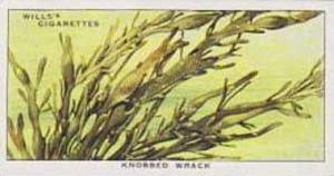 Wills Vintage Cigarette Card The Sea-Shore No 45 Knobbed Wrack  1938