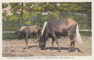 PHILADELPHIA , Pennsylvania , 1910s ; Zoo , White-Tailed GNU