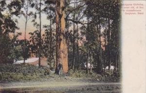 Trees Eucalyptus Giobulus Greytown Natal South Africa