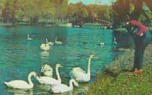 STRATFORD , Ontario , Canada , 40-60s ; Feeding Swans