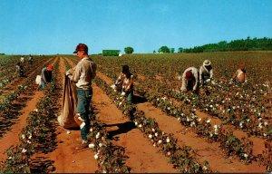 Cotton Pickin' Time