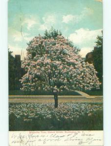 Pre-1907 MAGNOLIA TREE ON OXFORD STREET Rochester New York NY n5837