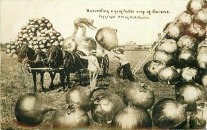 C-1910 Harvesting Profitable Crop Onions Martin RPPC Photo Postcard 5531