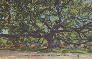 One of the Largest and Oldest Oak Tree in Florida - Linen