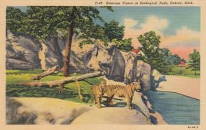 DETROIT , Michigan, 30-40s ; Siberian Tigers at Zoological Park