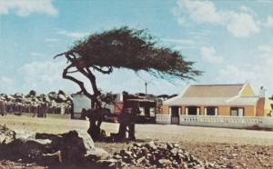 Typical Divi-Divi Tree Shaped by the Trade Winds, ARUBA, 40-60's
