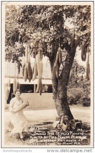 Florida Miami Coconut Grove Sausage Tree Planted By Mrs Maude Black In 1907 R...