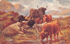 Cattle in stream, In Lochaber
