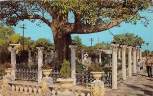 Clearwater Florida~Kapok Tree@ Kapok Tree Inn~People on Sidewalk~1950s Postcard