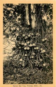 Vintage Postcard Cannon Ball Tree BWI British West Indies Caribbean Trinidad