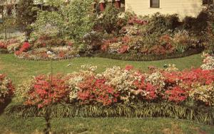 MS - McComb. Azaleas in Bloom