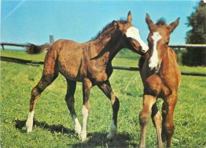 Animals topic postcard foal colt horses