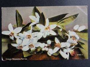 USA: Florida, Orange Blossoms - Old Postcard Pub by Cochrane Co