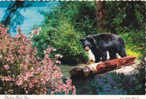 Yearling Black Bear