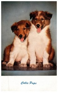 Dog , Collie pups