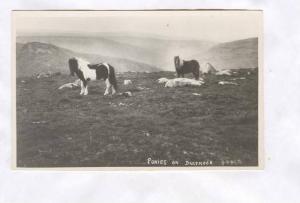 RP; Ponies on Dartmoor, 1910-30s