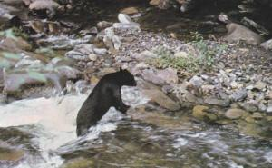 Smoky Mountain Black Bear in a Mountain Stream,  Smoky Mountains National Par...