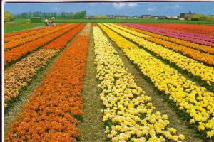 Large Field of Flowers, Men Working, Netherlands