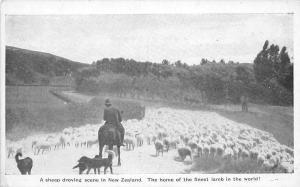 New Zealand sheep droving scene, home of finest lamb, herd, flock