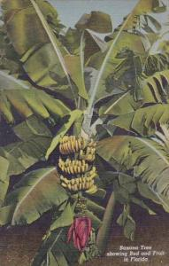 Banana Tree Showing Bud And Fruit In Florida