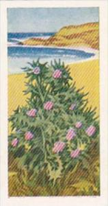 Glengettie Trade Card Wild Flowers No 7 Sea Holly
