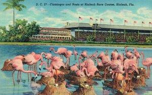 USA Flamingos and Nests at Hialeah Race Course Hialeah Florida 04.91
