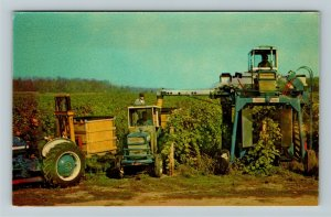 FL- Florida, Harvesting Grapes, General Greeting, Chrome Postcard