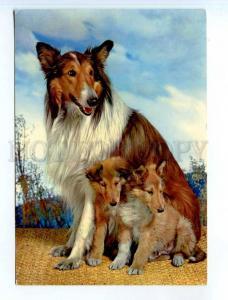 251687 Czechoslovakia COLLIE dog w/ puppies Old PHOTO postcard